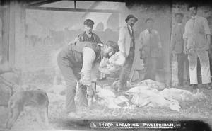 Sheep Shearing at Pwllpeiran